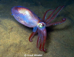 a squid in dark swedich waters by Knut Wester 